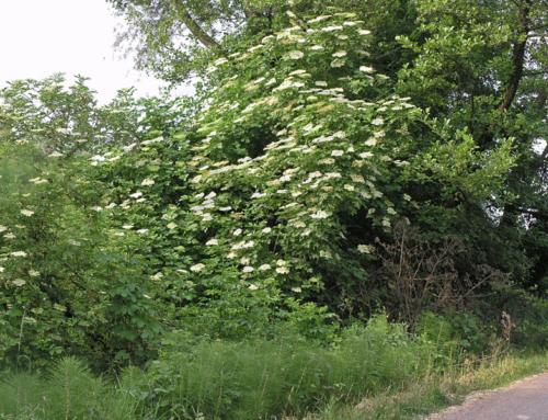 Sambuco, questa pianta misteriosa!